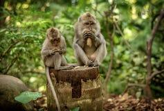 Обезьяны макаки на святилище леса обезьяны Ubud священном природа стоковое изображение rf
