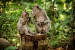 Обезьяны макаки на святилище леса обезьяны Ubud священном природа стоковая фотография rf