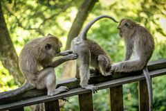 Обезьяны макаки на святилище леса обезьяны Ubud священном природа стоковые фотографии rf