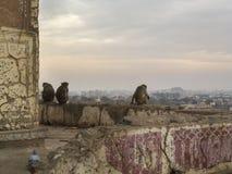 Обезьяны на виске Surya Mandir, Джайпуре Стоковое Фото
