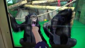 Обезьяны на зоопарке Шимпанзе в ЗООПАРКЕ Детские игры с шимпанзе на зоопарке акции видеоматериалы