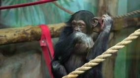 Обезьяны на зоопарке Шимпанзе в ЗООПАРКЕ Шимпанзе карликового шимпанзе сидит самостоятельно сток-видео