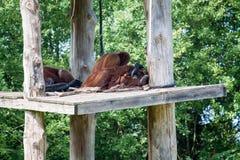 Обезьяны спать стоковое фото rf