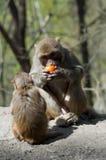 обезьяны Стоковое Фото