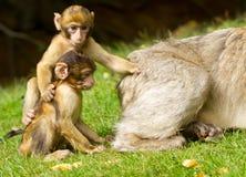 обезьяны 2 детеныша Стоковые Изображения