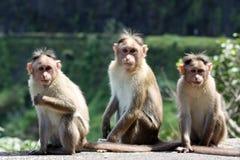 обезьяны 3 стоковое фото