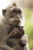 обезьяны стоковые фотографии rf