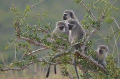 Обезьяны Vervet на национальном парке слона Addo Стоковое Изображение
