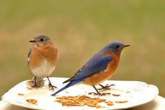 Обедающий синей птицы для 2 Стоковая Фотография