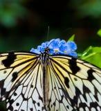 Обед бабочки Стоковые Изображения