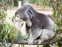 Обед коалы Стоковая Фотография RF