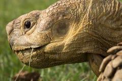 Обед черепахи Стоковые Фотографии RF