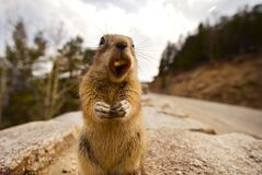 обед chipmunk Стоковые Фотографии RF
