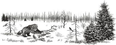 Обжора в северной древесине Стоковая Фотография RF