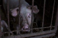 Обзор ферм размножения свиньи свинарник, свиноферма Стоковые Изображения RF