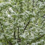 Обильно зацветая ветви весны фруктового дерев дерева с белыми цветками Концепция весны, садовничать и экологичности стоковая фотография