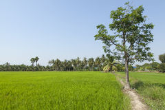 Обильная рисовая посадка Стоковое Фото