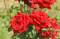 Обильно зацветая куст роз шарлаха стоковое фото rf