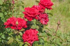 Обильно зацветая куст роз шарлаха стоковое изображение
