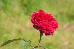 Обильно зацветая куст роз шарлаха стоковая фотография