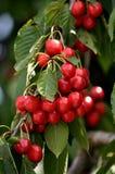 Обильные вишни плодоовощ Стоковые Изображения RF