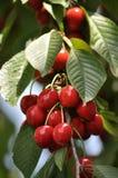 Обильный плодоовощ cherries_2 Стоковые Фотографии RF
