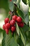 Обильный плодоовощ cherries_3 Стоковые Фото