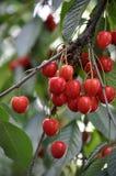 Обильный плодоовощ cherries_7 Стоковые Изображения