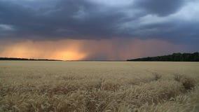 Облака и молния шторма в небе захода солнца над полем пшеницы Выравнивать ландшафт акции видеоматериалы