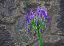 Облако Agapanthus пурпурное или цветок африканской лилии стоковая фотография rf