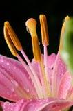 облитый дождь лилии Стоковое Изображение RF