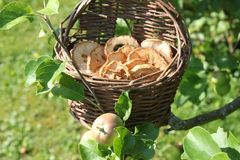 Обломоки Яблока в яблоне стоковое изображение