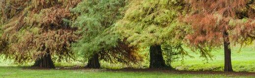 Облыселая листва кипариса в осени Стоковое фото RF