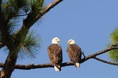 облысело каждый орел смотря на другие пары Стоковое Изображение