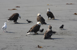 Облыселые Eagles Стоковые Фотографии RF