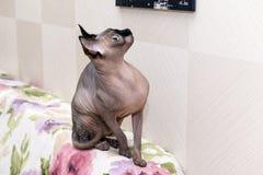 Облыселый безволосый кот без шерстей сидит на задней части софы и Стоковая Фотография RF