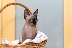Облыселый безволосый кот, кот породы канадское Sphynx сидит внутри Стоковые Фото