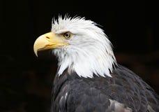 облыселый близкий орел вверх Стоковые Фотографии RF