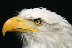 облыселый близкий орел вверх Стоковая Фотография