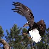 облыселый близкий орел вверх Стоковое Фото