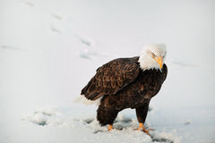 облыселый близкий портрет орла вверх Стоковая Фотография