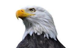 облыселый изолированный орел Стоковая Фотография RF