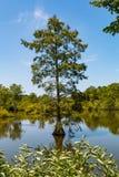 Облыселый кипарис растя в заболоченных местах на пнистом озере стоковая фотография