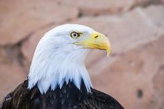 облыселый красивейший орел Стоковое Фото