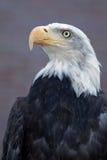 облыселый орел величественный Стоковые Фотографии RF