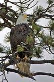 Облыселый орел в вале сосенки Стоковые Фотографии RF