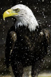 Облыселый орел в дожде Стоковое Изображение RF