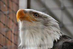 Облыселый орел в оздоровительном центре Стоковые Изображения