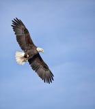 Облыселый орел в полете Стоковая Фотография RF