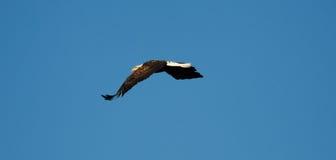 Облыселый орел в полете. Стоковые Фото